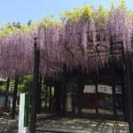 西圀五番札所藤井寺の藤まつりを観てきました