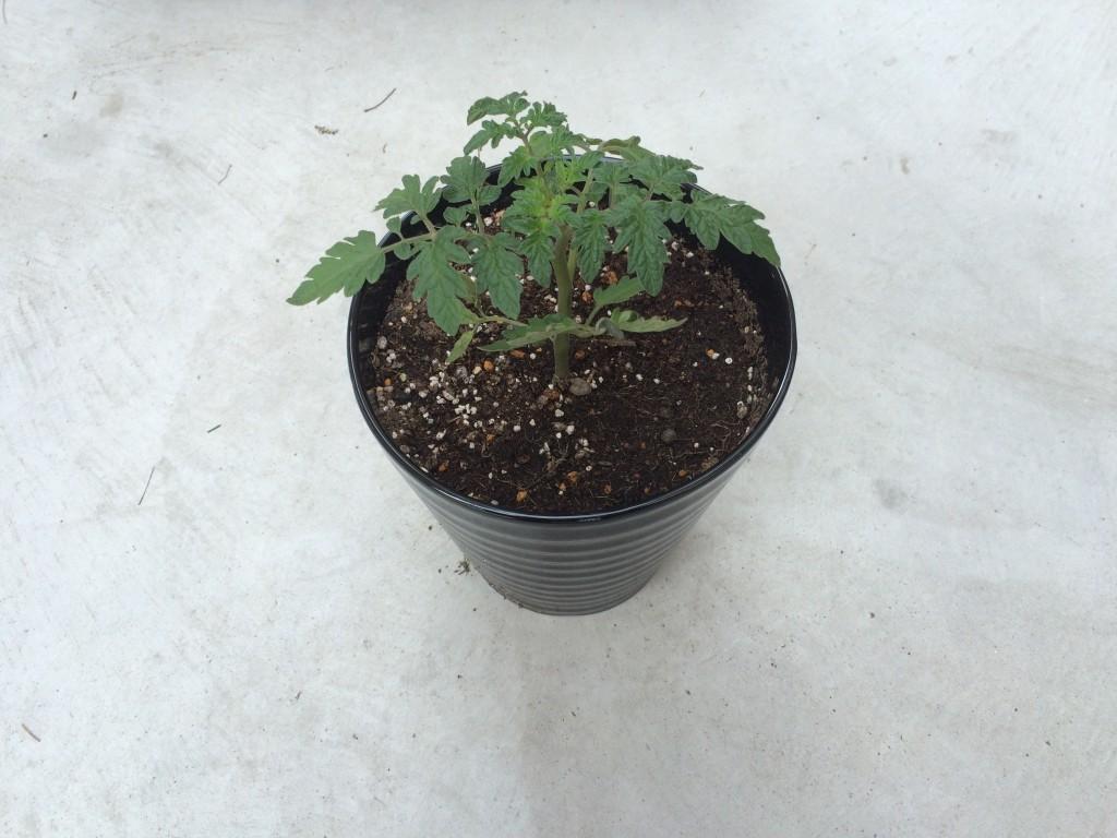 赤ちゃんトマトを植えました