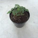 2015年のミニトマト「赤ちゃんトマト」を植え替えました